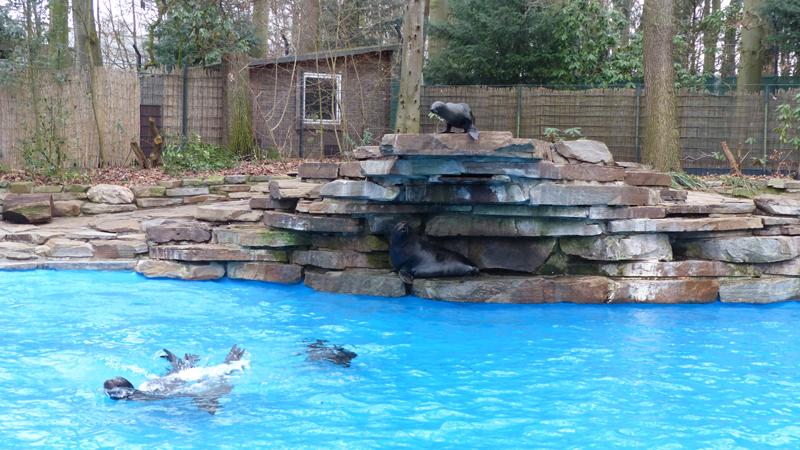 Seelöwen und Seebären erobern erneuertes Robbenbecken im Zoo