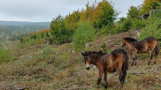 Zwei Exmoor-Ponys